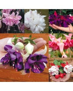 24 Giant Trailing Fuchsia Collection