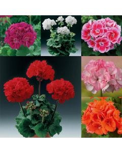 24 Geranium Grandeur Collection