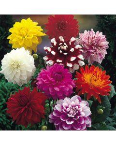Dahlia Decorative Mixed