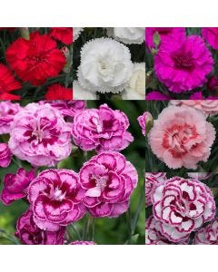 Fragrant Dianthus Collection