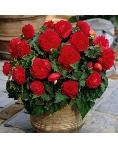 3 Non Stop Begonia Red