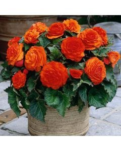 3 Non Stop Begonia Orange