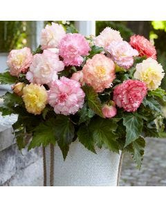 10 Samba Begonia Mixed