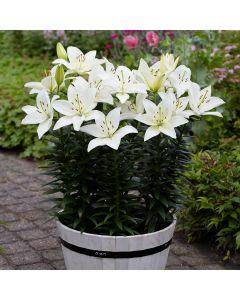 5 Lily Inuvik