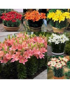 Short Stemmed Patio Lily Collection
