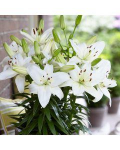 5 Lily Sparkling Joy
