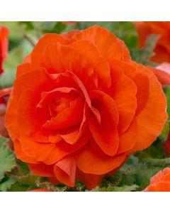 5 Begonia Double Orange