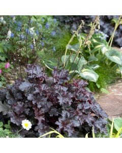 3 Heuchera Black Beauty
