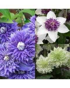 Clematis Double Flowering Collection