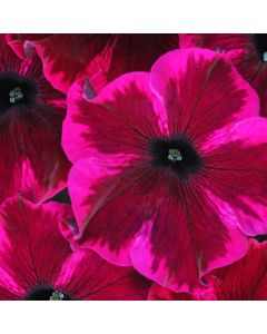 6 Petunia Cosmic Purple