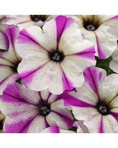 6 Petunia Maniac Lilac