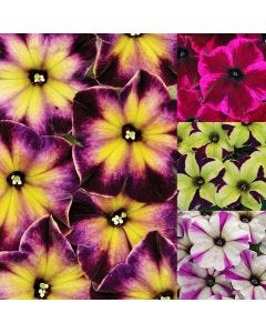 24 Petunia Crazytunia Collection