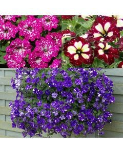 12 Speckled Petunia Collection