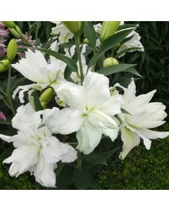 3 Lily Lotus Beauty
