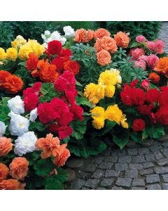 15 Non Stop Begonia Collection
