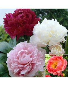 4 Double Flowering Peony Collection