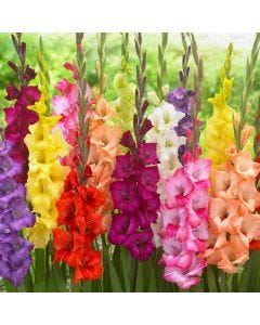 30 Large Flowering Gladioli Mixed
