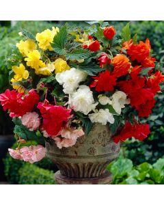 10 Cascading Begonia Mixed