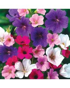 Hardy Geraniums Mixed