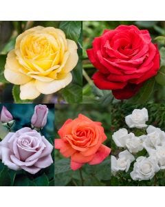 5 Fragrant Rose Collection