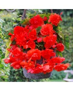 3 Begonia Cascading Orange