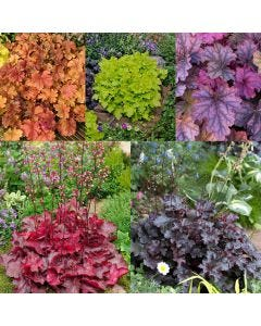 15 Heuchera Luxury Collection
