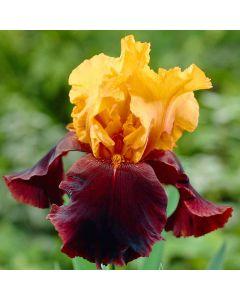 Iris Supreme Sultan