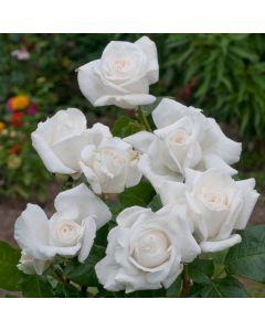 Rose Annapurna