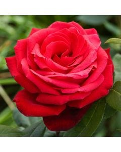 Rose Ruby Wedding