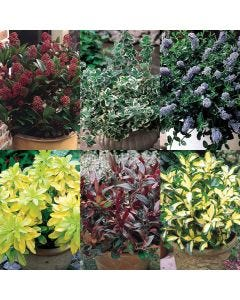 Evergreen Dwarf Shrubs Collection