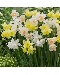 Narcissi Triandrus Mixed