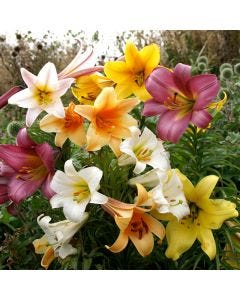 Trumpet Lilies Mixed