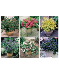 6 Dwarf Flowering Shrubs
