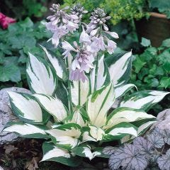 2 Hosta Fire and Ice