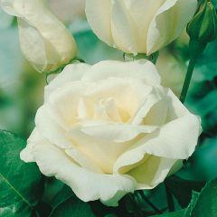 Rose Pascali