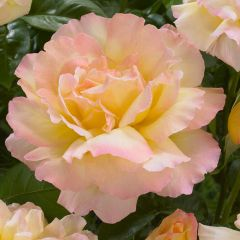 Rose Pink Peach