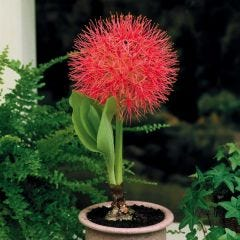 Scadoxus (Fireball Lily)