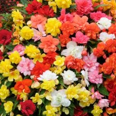 Begonia Supercascade Mixed (Trailing)