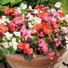 66 Begonia Organdy Mixed