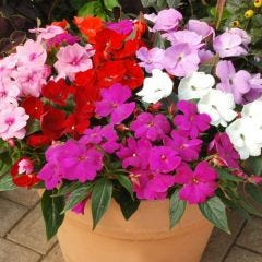New Guinea Impatiens Divine Mixture