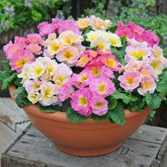 Primula Sweetheart Mixed