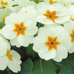 Primrose Cottage Cream
