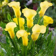 Zantedeschia Black Magic (Calla Lily)