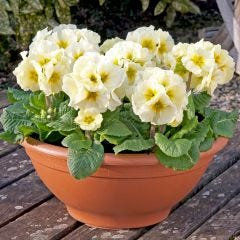 Primula Showstopper Lime/Cream