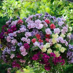 Petunia Tumbelina Mixed (Pre-planted Basket)