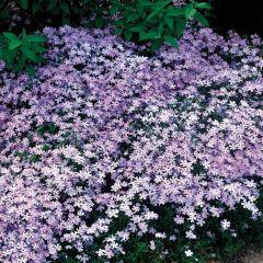 Gypsophila Prostrata Pink