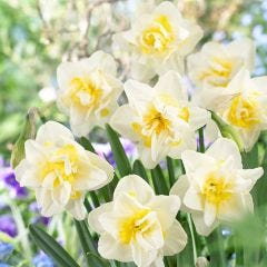15 Narcissi White Lion