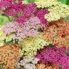 6 Achillea Mixed