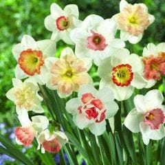 Pink Daffodils Mixed
