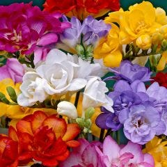 Double Freesia Mix